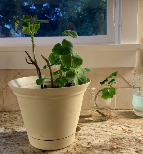 Mario Geranium is also Growing at Home